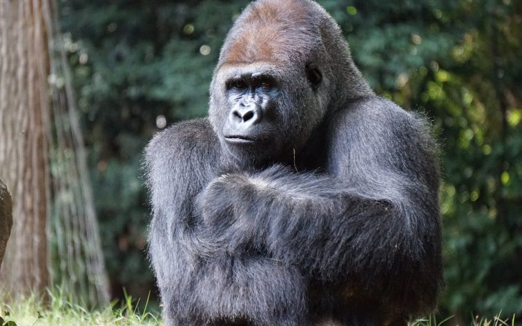 Thinking Ape | When Standing Means Standing | Greater Ape